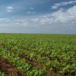 Uruguay y el SISSA miden el impacto de la sequía en la soja